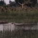hippoinwater okavango park AA